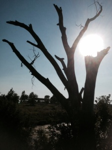 A dying tree holds the sun in its withered branch
