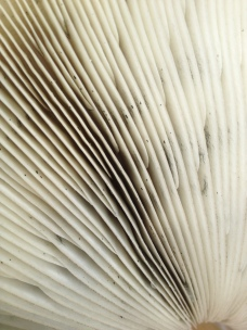 underside of mushroom
